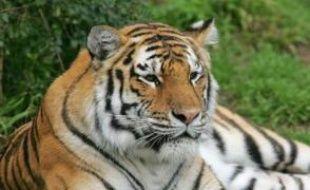 Les autorités, qui cherchent à comprendre comment une tigresse a pu s'échapper de son enclos au zoo de San Francisco le jour de Noël, tuant un visiteur et en blessant deux autres avant d'être abattue, envisageaient mercredi la possibilité d'une libération intentionnelle.