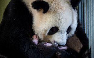 Photo prise le 28 août dernier de la femelle panda Huan Huan avec son bébé au zoo de Beauval (Loir-et-Cher).