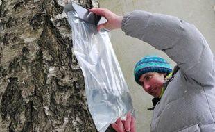 Quand le printemps fait fondre les dernières neiges, la tranquillité des immenses forêts de Lettonie est à peine troublée par un goutte à goutte presque imperceptible. C'est la saison de la sève de bouleau, réputée pour ses vertus thérapeutiques.