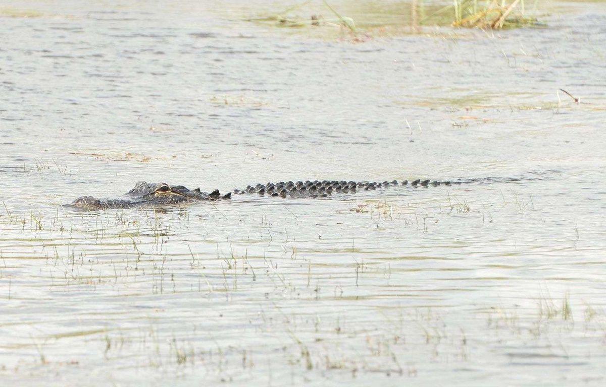Alligator dans les marécages du parc national des Everglades en Floride (Etats-Unis) le 15 Juin 2016. – Photo by Broadimage/REX/Shutterstock (5733679c)