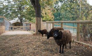 Les moutons des fermes à Paris sont tondus début avril et le public peut y assister depuis cette année.