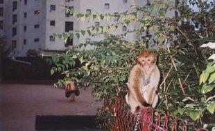 Illustration d'un singe Magot, à Paris.