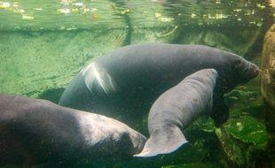 Une maman lamantin et son petit, le 19 juillet 2014 dans le zoo du parc de Beauval, près de Blois (Loir-et-Cher)