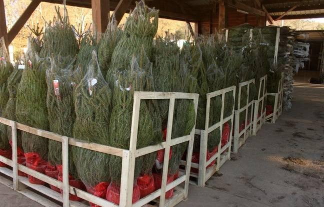 Les sapins de Noël sont prêts à être expédiés, le 1er décembre 2016, dans le Morvan.