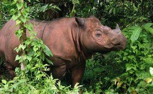 """Un rhinocéros de Sumatra, espèce en danger critique d'extinction, est né samedi en captivité, un événement """"historique"""" qui ne s'était jusqu'alors produit que trois fois en un siècle et qui suscite l'espoir pour la sauvegarde de l'animal."""