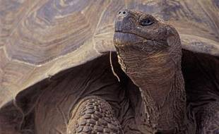 Une tortue des Galapagos.