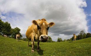 Illustration: une vache dans un champ.
