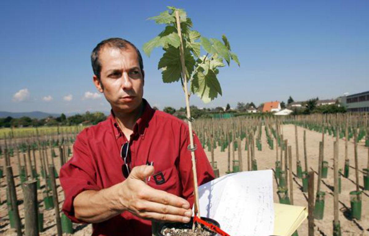 Olivier Lemaire, chercheur biologiste de l'INRA de Colmar présente, le 07 septembre 2005, un plan de vigne génétiquement modifié. – AFP PHOTO FREDERICK FLORIN