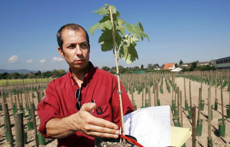 Olivier Lemaire, chercheur biologiste de l'INRA de Colmar présente, le 07 septembre 2005, un plan de vigne génétiquement modifié.