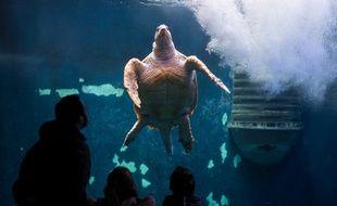 Une tortue nage devant des visiteurs au sein du Grand Aquarium de Saint-Malo. Fermé pendant le confinement, l'équipement rouvre le 20 mai 2020.