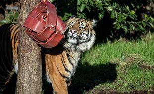 Le tigre Asim a mortellement blessé une femelle nommée Melati au zoo de Londres.