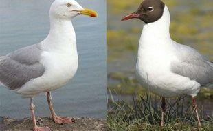 A gauche, un goéland argenté photographié à Brest. A droite, une mouette rieuse en France.
