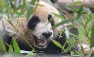Un panda géant à Chengdu le 26 mars 2014