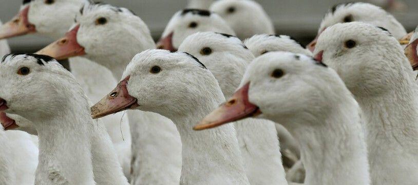 Des canards dans une exploitation de foie gras. (archives)