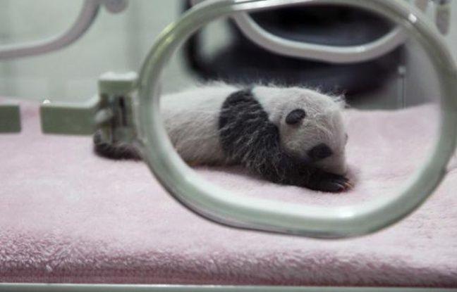Un bébé panda âgé de deux semaines, au centre de Chengdu en Chine, le 15 septembre 2009.