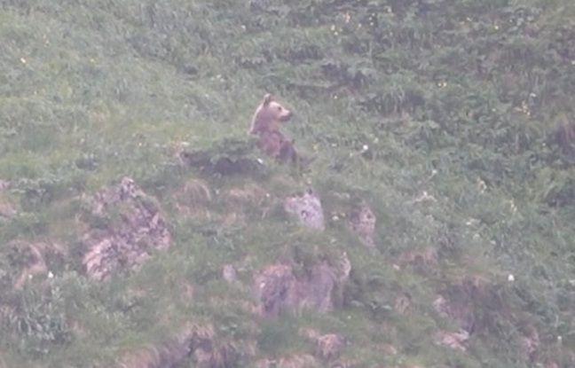 Les images d'une ourse en train d'allaiter son petit dans les Pyrénées ariégeoises en juin dernier.
