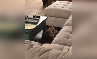 Un puma s'est invité dans le salon d'une maison de Boulder, dans le Colorado.
