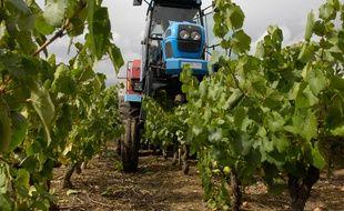 La grande majorité de la récolte s'effectue à l'aide d'une machine à vendanger.