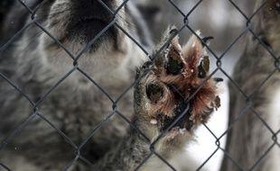 Près de 10.000 chiens sont abattus chaque année dans des conditions cruelles, à l'occasion du festival de Yulin. (Illustration)
