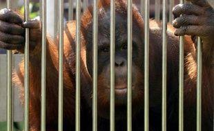 Un orang-outan en cage à Jakarta le 10 décembre 2009