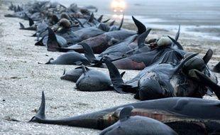 Environ 200 baleines-pilotes se sont échouées samedi 11 février 2017 sur des hauts-fonds à Farewell Spit (Nouvelle-Zélande).