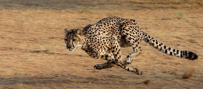 Illustration d'un guépard.