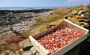 Sur l'île, le couple produit des pommes de terre, de l'ail, des oignons et des échalotes.