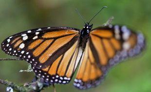 Un papillon monarque dans une forêt à Temascaltepec, le 12 novembre 2015 au Mexique