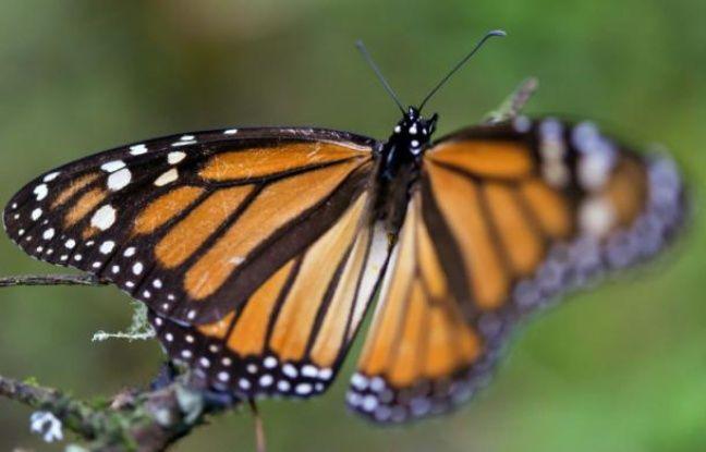 nouvel ordre mondial   États-Unis: Une femme répare l'aile d'un papillon grâce à ses talents de couturière