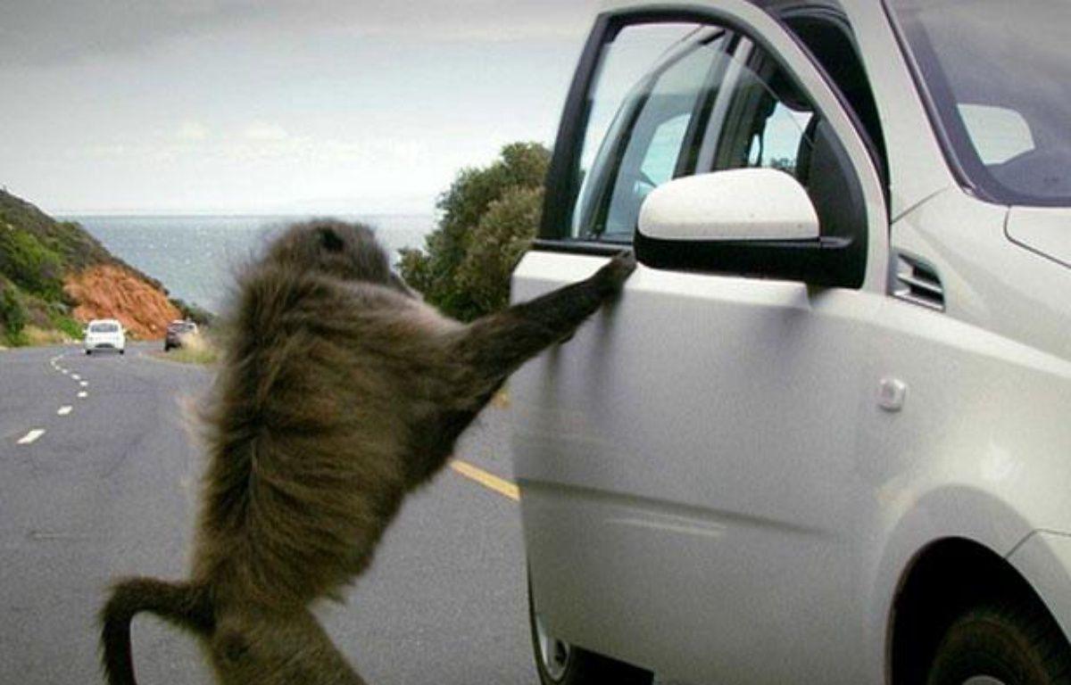 Un babouin tente de pénétrer dans une voiture de touriste, près du Cap (Afrique du Sud), en 2010. – CHAPMAN CHAD/CATERS NEWS AGENCY/SIPA