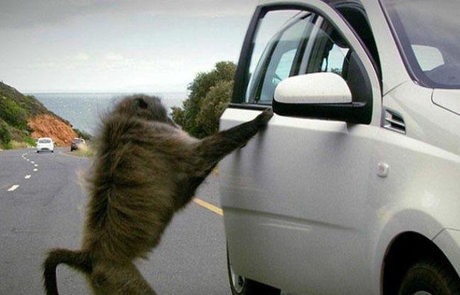 Un babouin tente de pénétrer dans une voiture de touriste, près du Cap (Afrique du Sud), en 2010.