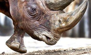 Le rhinocéros noir dans son enclos au zoo de Francfort en Allemagne. Photo prise le 3 février 2017. Photo d'illustration.
