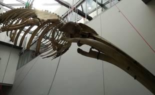 Un squelette de baleine, acquis par le muséum d'histoire naturelle de Lyon en 1878, va de nouveau être exposé dès le 30 mars entre Rhône et Saône.