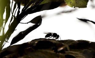 Illustration d'un frelon asiatique aux abords de son nid, ici près de Tours.