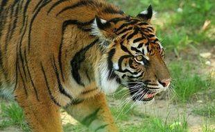 Les combats qui font rage depuis un an dans l'extrême nord de la Birmanie font des victimes inattendues: des dizaines de tigres, qui survivent tant bien que mal dans la plus grande réserve au monde dédiée à leur protection, et située près des zones de combats.