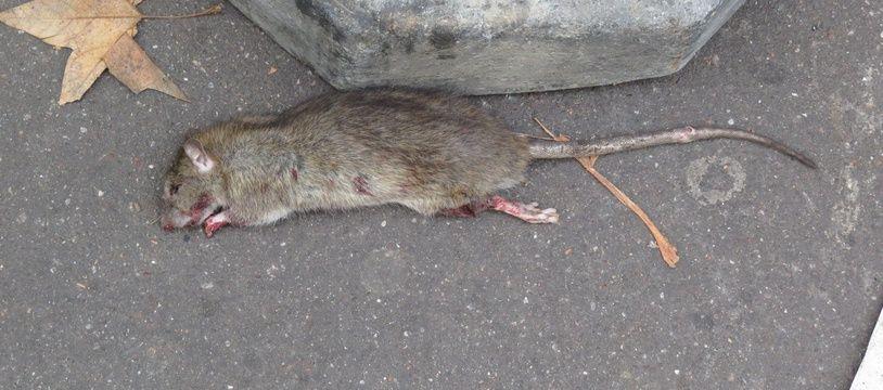 Un rat mort dans les rues de Paris