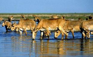 Des antilopes saïgas s'abreuvent au bord d'un lac au Kazakhstan.