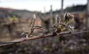 Des bourgeons de vigne gelés. Illustration.