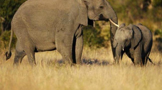 Le continent africain abriterait aujourd'hui environ 400.000 pachydermes, contre trois à cinq millions au début du XXesiècle