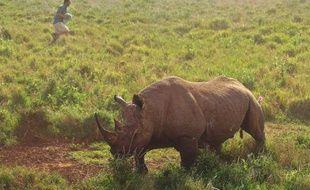 Un rhinocéros noir qui a reçu un tranquilisant attend d'être examiné, le 20 mai 2015 à Laikipa au Kenya