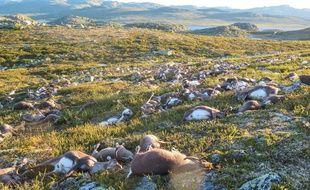 Plus de 300 rennes sauvages sont morts foudroyés dans le sud de la Norvège.