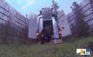 L'ours Goait, lors de son lâché dans les Pyrénées catalanes le 6 juin 2016