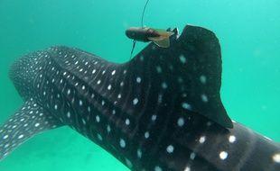 Une balise posée en janvier 2020 sur un requin baleine à Djibouti.