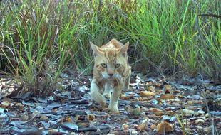 Un chat errant (feral cat) photographié en Australie.