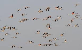 La migration annuelle des flamants peut être lointaine.