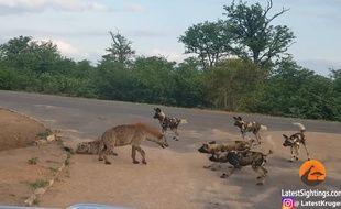 Une hyène en train de protéger ses petits d'une harde de lycaons, dans le parc national Kruger, en Afrique du Sud.