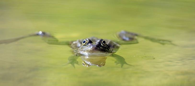 Une petite grenouille dans une mare (illustration).