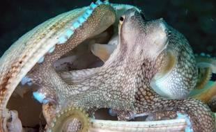 Une «cité» des poulpes découverte dans le pacifique