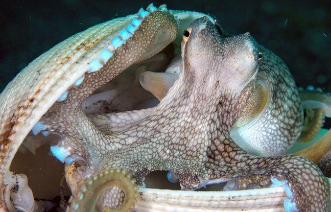 Australie: Une «ville» de poulpes découverte au fond de l'océan