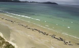Plusieurs dizaines de dauphins pilotes sur une plage de l'île Stewart, en Nouvelle-Zélande, le 25 novembre 2018.